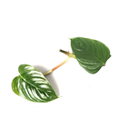 Philodendron ornatum - Cutting