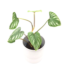 Philodendron mamei
