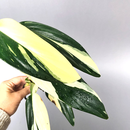 Philodendron standleyana white variegated Ableger