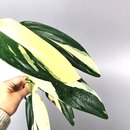 Philodendron standleyana white variegated Cutting