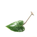 Philodendron erubescens - Cutting
