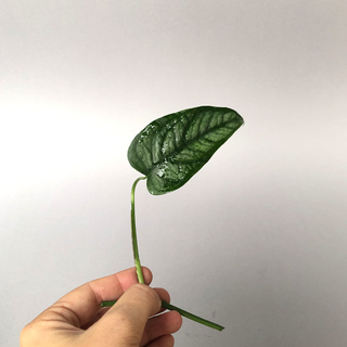 Monstera siltepecana - Cutting