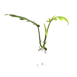Philodendron mayoi Cutting/Ableger