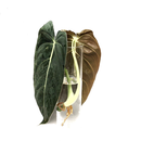 Philodendron melanochrysum Cuttings/Ableger XL