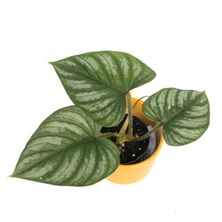 Philodendron mamei S