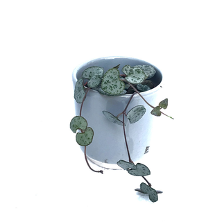 Ceropegia woodii ´String of Hearts` (Leuchterblume)