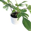 Philodendron Florida Green