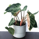 Philodendron verrucosum rojo Form
