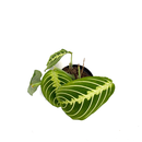 Maranta Lemon Lime