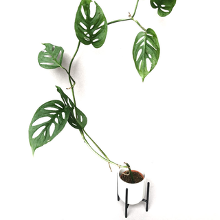 Monstera acuminata
